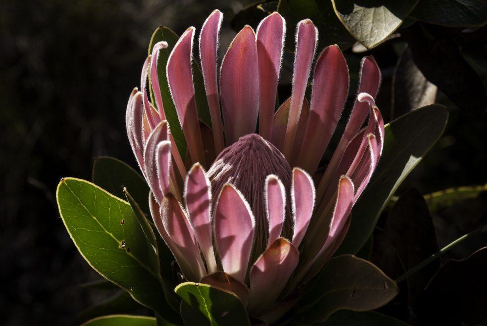 Protea compacta